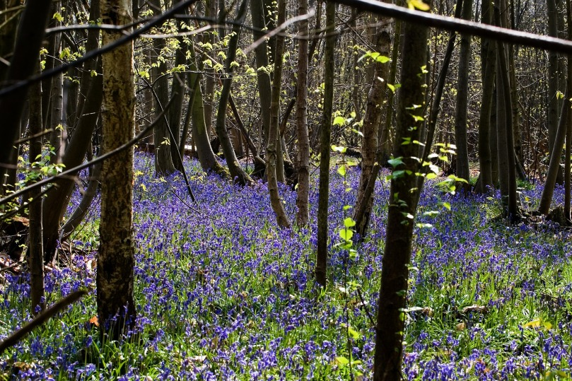 Visit a bluebell wood in spring