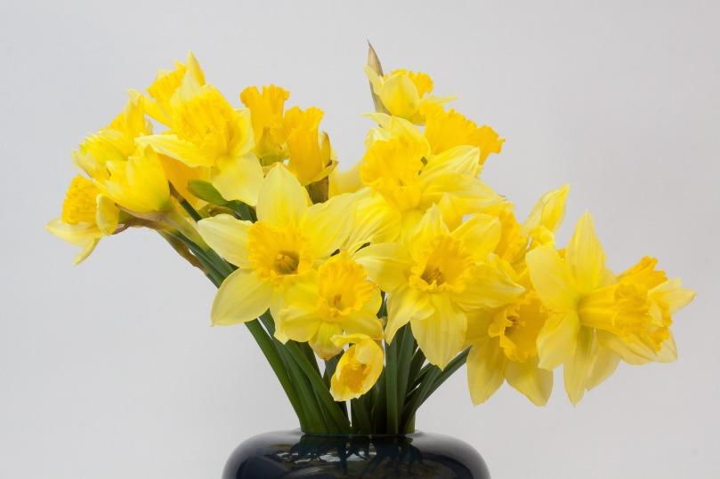 vase of daffodils spring decoration